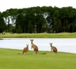 Kangaroos are a common site on Australia golf courses such as The Pines course at Sanctuary Cove.