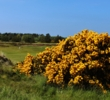 Gorse blooms behind the 17th green on the Gailes Links at Glasgow Golf Club.