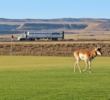 An antelope wanders by the third green at Rochelle Ranch Golf Course in Wyoming.