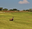One of the joys of playing a golf course in the bush in South Africa -- like the Signature at Legend Golf & Safari Resort -- is stumbling across wild animals.