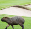 The scruffy capybara highlights the wildlife to be found on the Rio Olympic Course in Brazil.