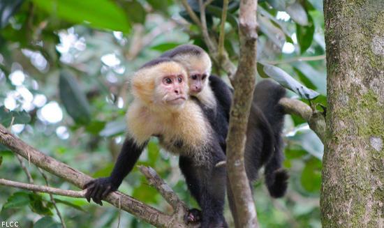 costa-rica-monkeys
