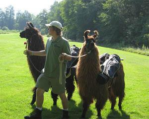 Llamas are used to carry clubs at Talamore Resortin North Carolina.